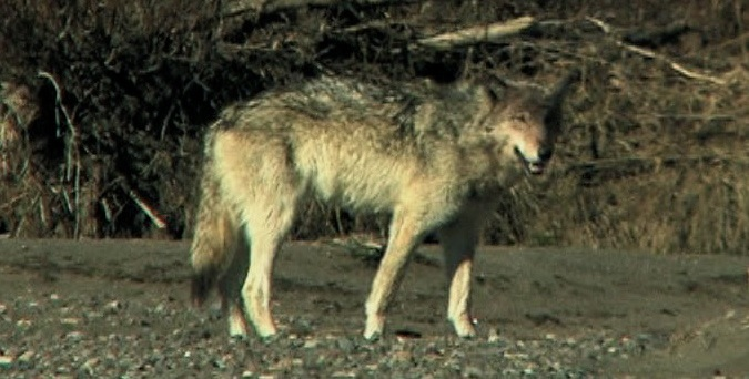 Does this gray wolf have gumption?
