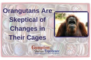 Orangutans Are Skeptical of Changes in Their Cages